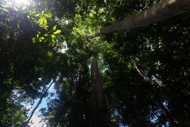 Árvores são vistas durante trilha na Floresta Nacional do Tapajós